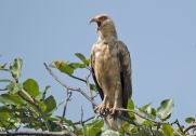 Palmnut vultures are a common sight!
