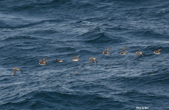 Small flocks of Ancient Murrelets seen on pelagic birding in Japan