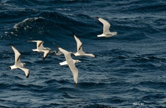 black legged kittiwakes are seen in flocks in Pacific Ocean