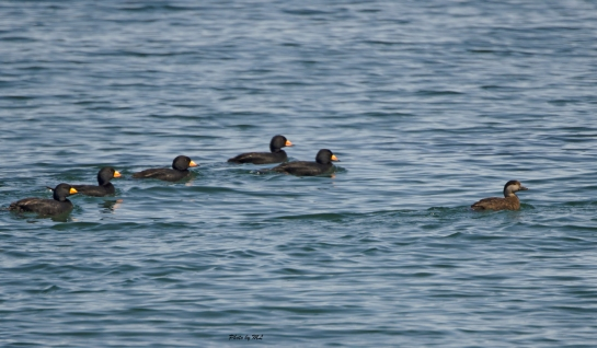 male black scoters after one female