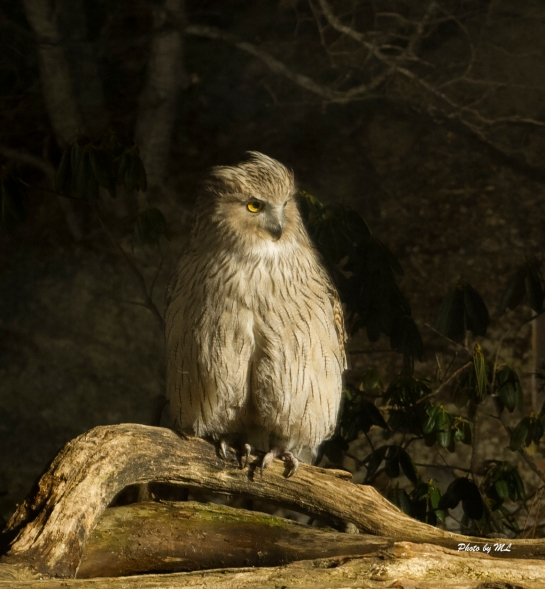 blakiston fish owl in Yoroushi hotel