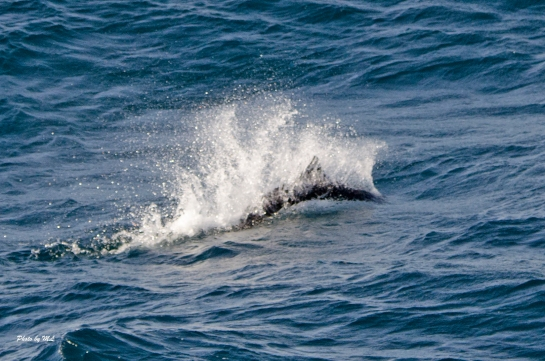 Lot's of Dall's porpoises in the Pacific Ocean!