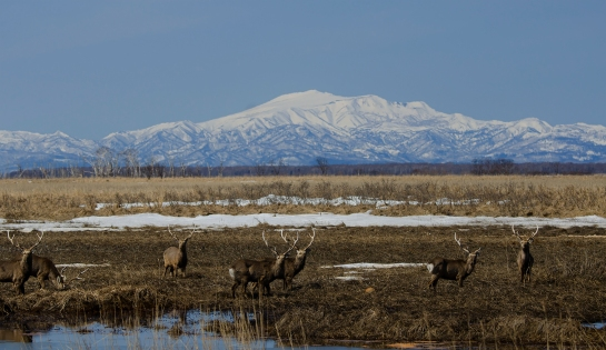 deers at Cape Notsuke