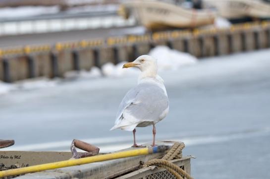 glaucous gull in Hokkaido