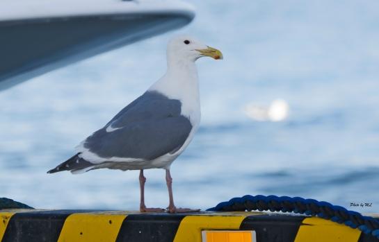 Glaucous-winged gulls seen in most piers in Hokkaido