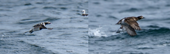 Some Long-tailed ducks in choppy waters