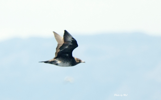Pomarine Skua flew in and I was able to take a nice photo with my short lens.