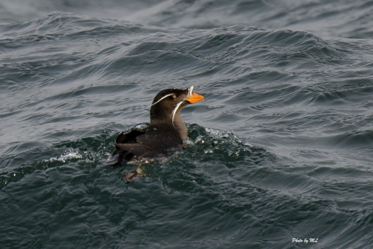 rhino auklets are common here
