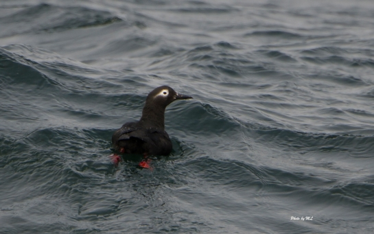 spectacled guillemot at Hobamai cruise