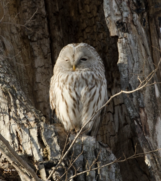 Ural owl at Lake Kusharo.