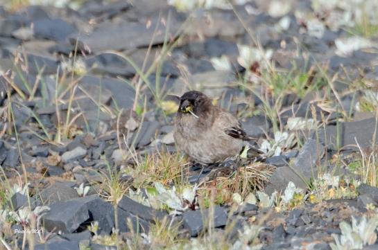 brandt's mountain finch- female