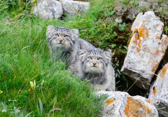 a pair of pallas's cats playing at their den