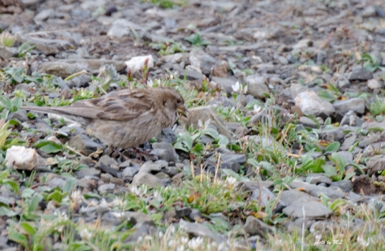 plain mountain finch-female