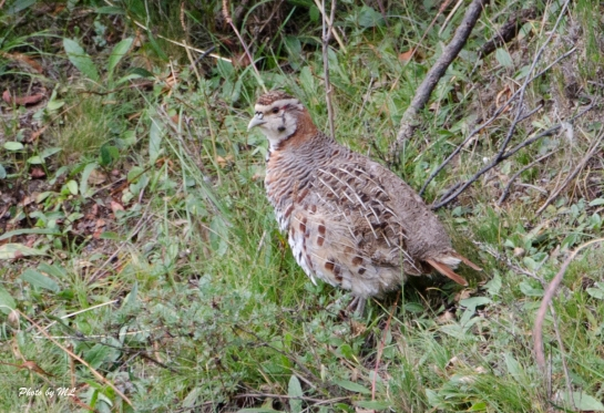 tibetan partridge in the valley with the Pallas's cats