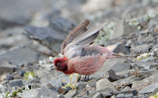 tibetan rosefinch-male