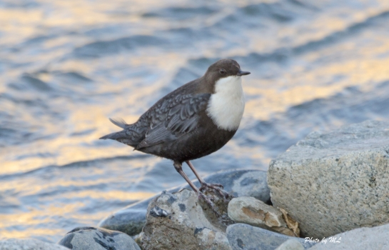 white-throated-dipper in canal in Yushu